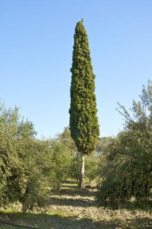 Pine tree in the olive grove in Crete in late November