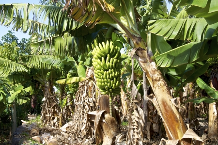 Banana Plantation in the Valle Gran Rey on the island La Gomera   Stock Photo