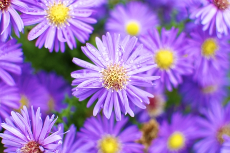 hardy: Alpin Aster in the City Park Planten and Blomen, Hamburg