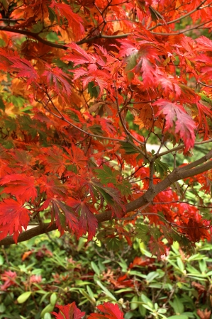 Autumnal colored leaves in the Japanese garden in Hamburg