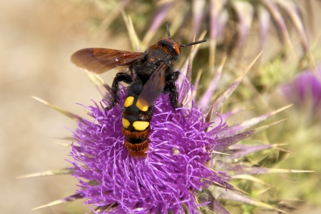 hirta: The Wasp  Scolia Hirta  on a thistle on Crete  This Wasps live only in South Europe Stock Photo