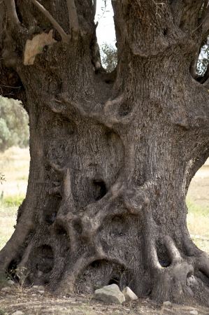 knotty: Knotty tree trunk of an old olive tree on Crete