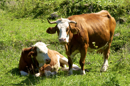 cattle breeding: Cows on the pasture in Upper Austria. Cattle breeding and agriculture are an important economic factor in Austria Stock Photo