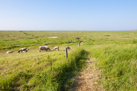 wadden sea: Sheeps on the Warft on the Hallig Langeness in the Wadden Sea in north Germany