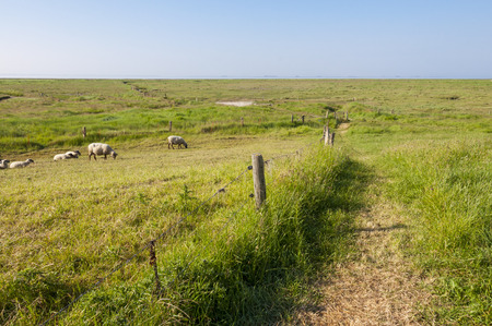 the wadden sea: Sheeps on the Warft on the Hallig Langeness in the Wadden Sea in north Germany