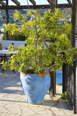 potted plant: Potted plant in a Tavern in Greece