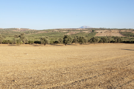 olive groves: Typical Landscape in the south of Crete. In September it is dry and the fields are burned and brown from the sun. Agriculture and Olive Groves determine the picture from the island