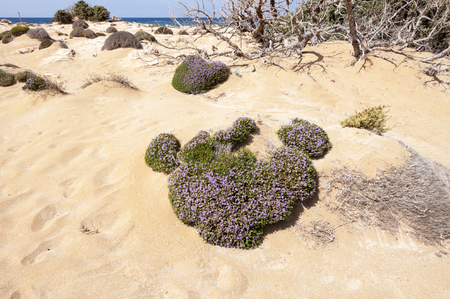 water thyme: Thyme on the Lafrakas beach in the north of Greece Gavdos, the southernmost Iceland in Europe Stock Photo