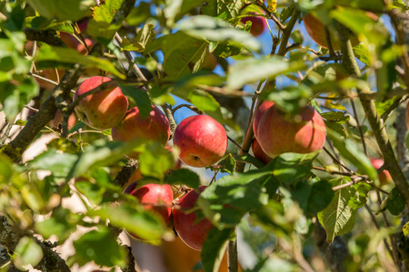 Close-up of an apple tree with red apples and autumn leaves, in the Enns Valley in Upper Austria