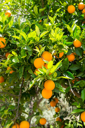 Oranges on a tree in the south-central Crete near the village of Matala in April