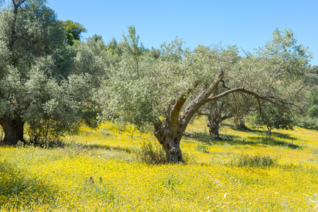 Olive groves in the south of Crete. Wildflowers on a meadow around the trees.