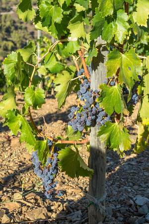 Close-up from Grenache grape. The Comarca Priory is a famous wine growing area where the prestigious Wine of the Priorat and Montsant is produced. Wine has been cultivated here since the 12th century Banque d'images