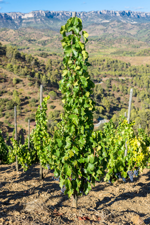 Vine in the Comarca Priory, a famous wine-growing area where the prestigious Wine of the Priorat and Montsant is produced. Wine has been cultivated here since the 12th century