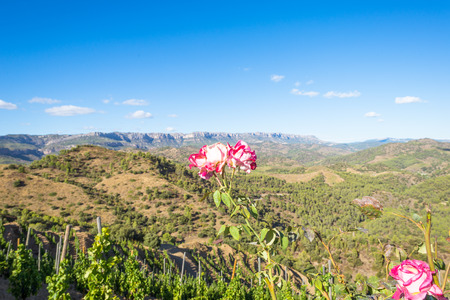 Withered rose in front of the Comarca Priorat, a famous wine-growing area where the prestigious wine of the Priorat and Montsant is produced. Wine has been cultivated here since the 12th century Stock Photo