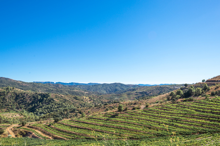 Vineyard in the Comarca Priorat, a famous wine growing area where the prestigious wine of the Priorat and Montsant is produced