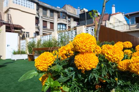 Dahlia flowers on a roof garden in Donostia San Sebastian