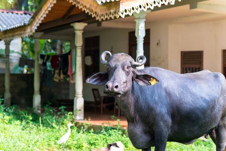 Domestic Asian water buffalo outside from Unawatuna, a small coastal town in the southern Province of Sri Lanka. Mostly crossbreeds or breeds from Murrah and Nili Ravi buffalo. Mainly for dairy use