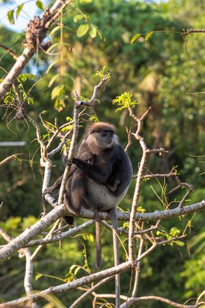 Gray- or Hanuman langurs are the most widespread langurs of South Asia. This group is situated in the jungle side of the village in Unawatuna in Sri Lanka