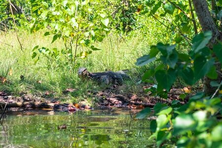 Monitor Lizard at the Rekawa lagoon. The scenic coastal lagoon in the south of Sri Lanka, situated at the east-side of Tangalle, has a big biodiversity with a variety of flora and fauna Stock Photo