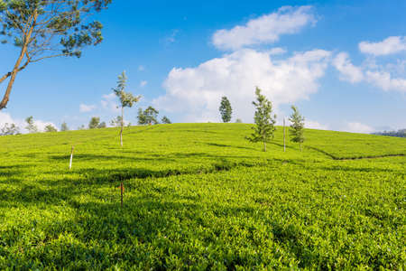 Tea plantation near the town Nuwara Eliya, approx 1900m above sea level. Tea production is on the main economic sources of the country. Sri Lanka is the world's fourth-largest producer of tea