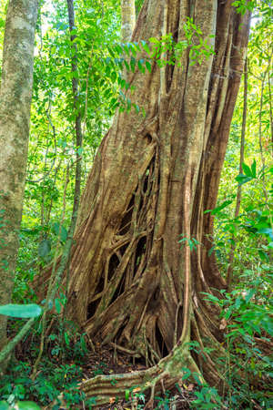 Large tropical tree with mighty buttress roots in the national park Khao Sok Standard-Bild