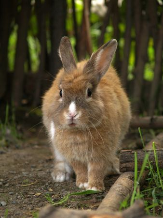The red rabbit walks on a wood footpath. Stock Photo - 5459612