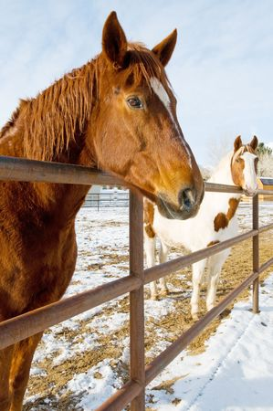 Horses in winter coral photo