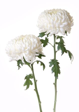 Gorgeous white crysanthemums with green leaves and stems