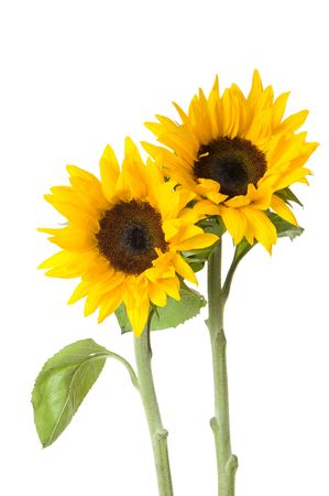 Two gorgeous yellow sunflowers with white background