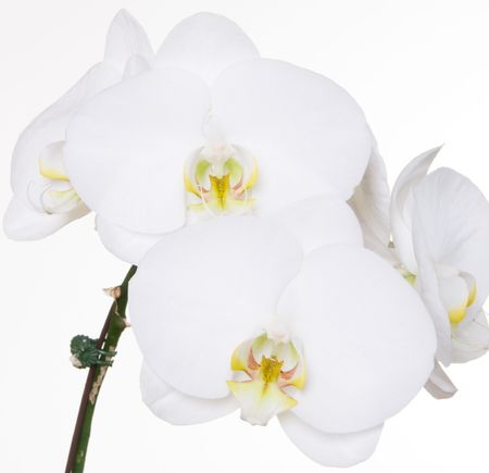 White orchids on a white background Stock fotó