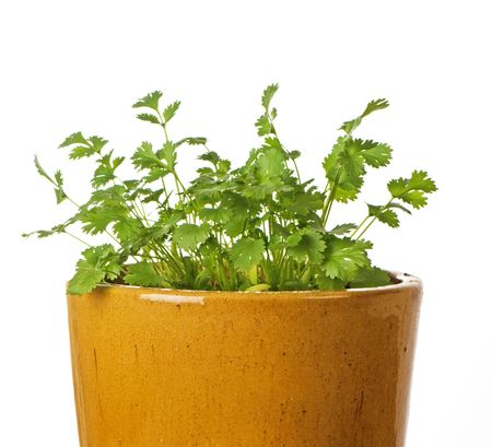 Cilantro (also known as coriander) growing in a glazed ceramic pot Stock Photo