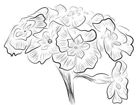 Primula flowers sketch Vector