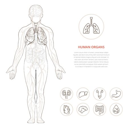 Human body anatomy infographic of the structure of human organs. Visual scheme circulatory system. Biology icons images name organs vector.