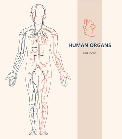 Human body anatomy infographic of the structure of human organs. Human organs line icons. Visual scheme circulatory system. Biology icons images name organs vector.