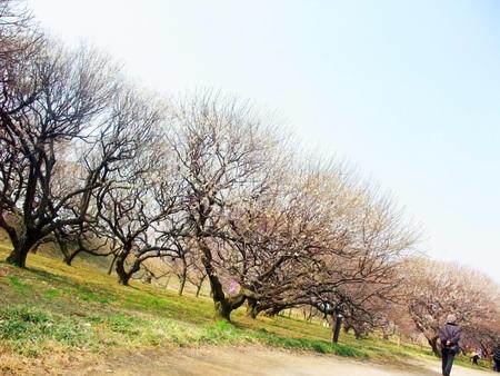 Plum tree 写真素材