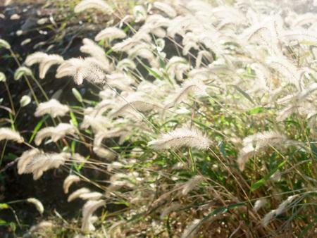 Setaria viridis 写真素材