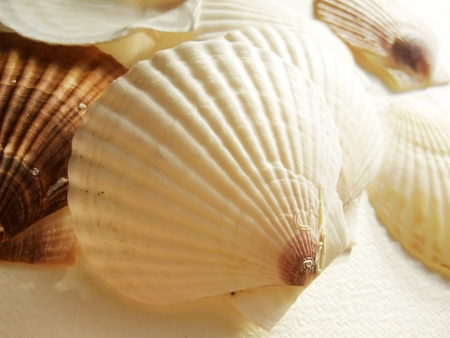 Shell of scallop