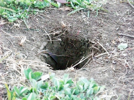 Burrow of a mole