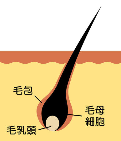 Section of a hair root 写真素材