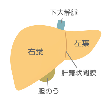 Structure of the liver 写真素材
