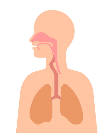 Structure of the throat and the lung
