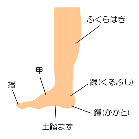 Structure of the leg