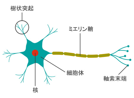 The structure of the neuron Archivio Fotografico - 121951341
