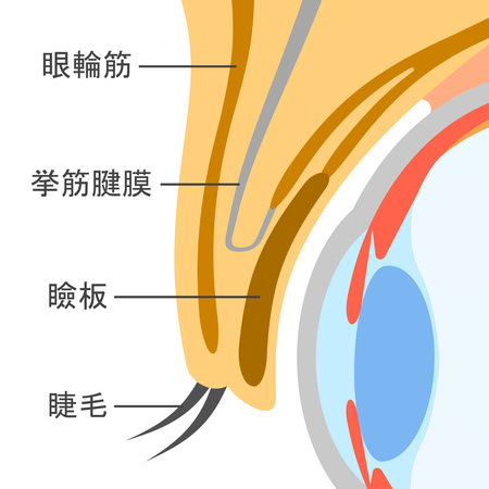 The structure of the eyelid