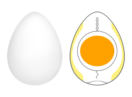 The structure of the egg