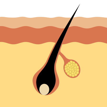 The structure of the hair root and the sebum.