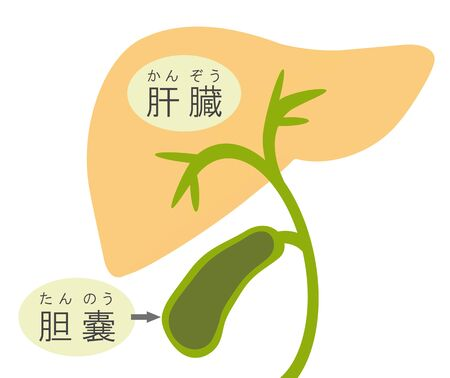 The structure of the liver and the gallbladder.