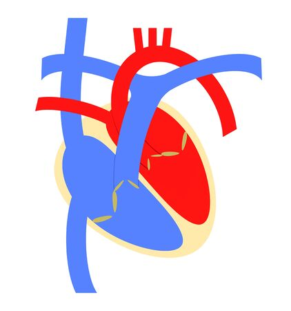 The structure of the heart 版權商用圖片