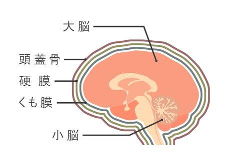 Mechanism of a brain and an arachnoid. Stok Fotoğraf
