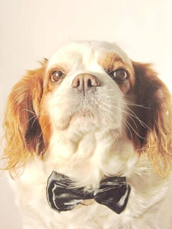 A cute dog wearing a black bow tie